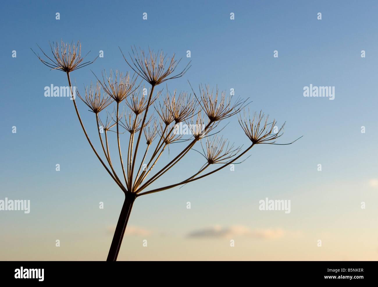 Angélica seedhead salvajes contra el cielo azul Imagen De Stock