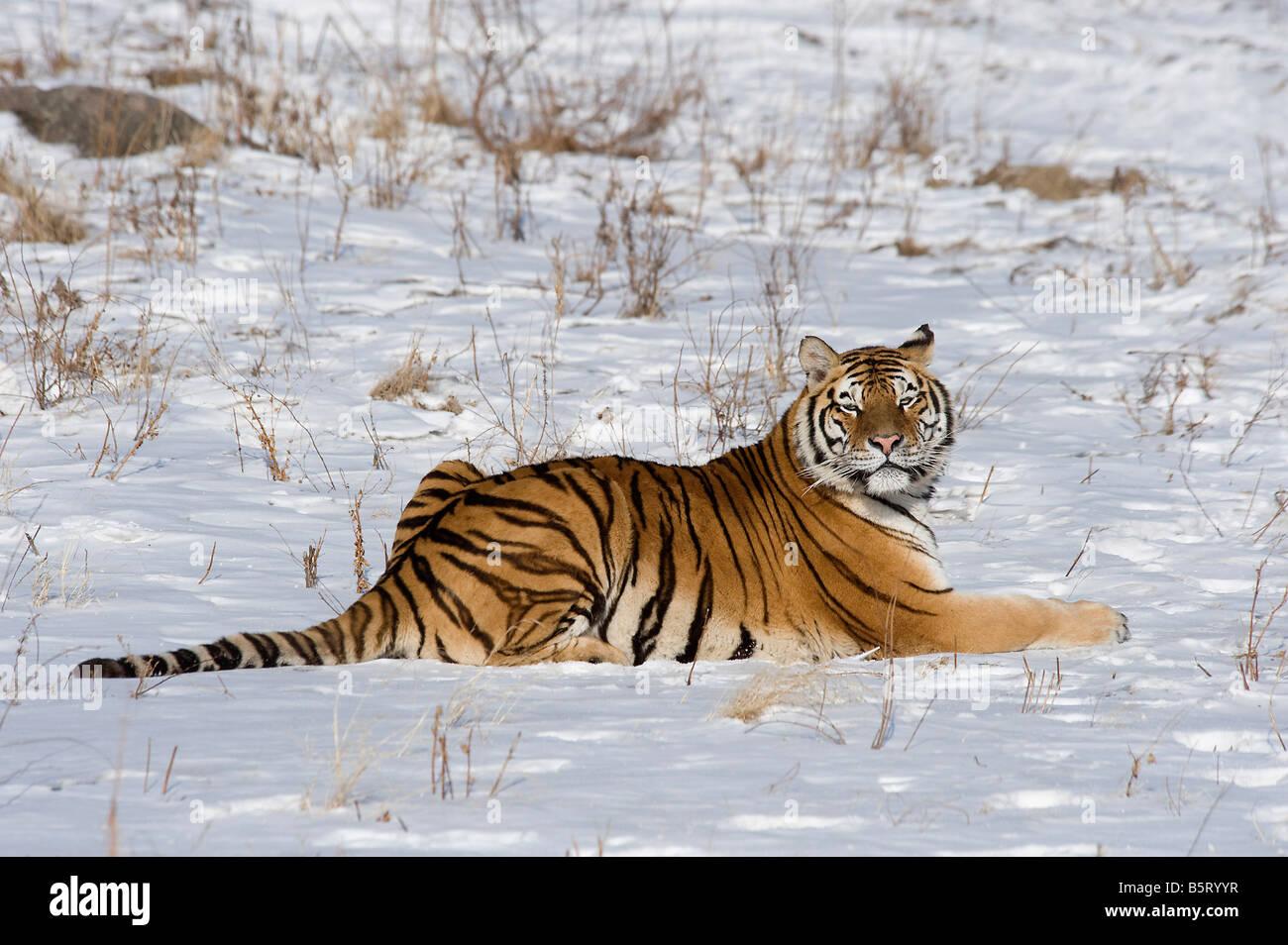 Amur de tigre siberiano Panthera tigris altaica en nieve China Heilongjiang Imagen De Stock