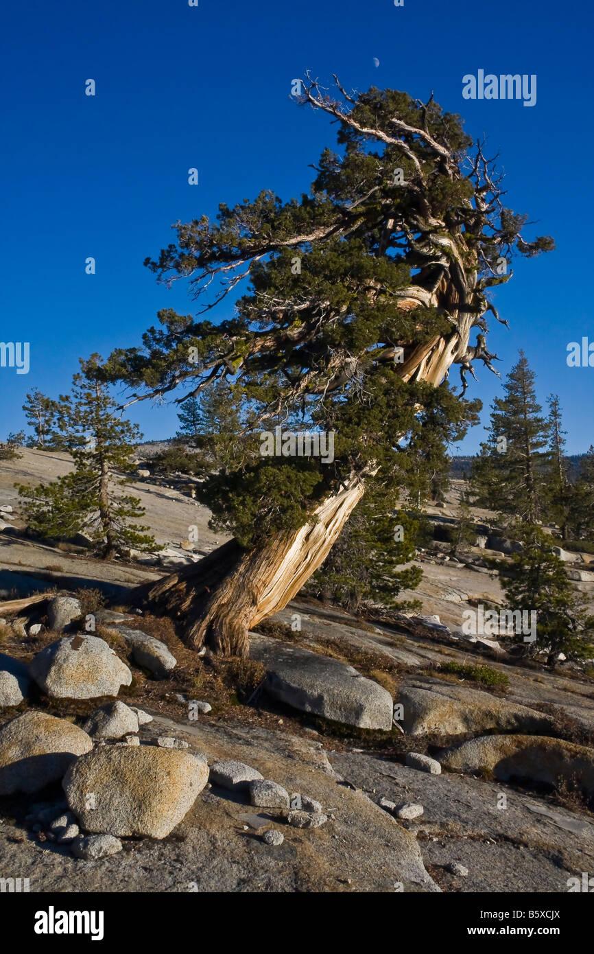 Hermoso y antiguo árbol de pino en la sierra alta de California, retorcidos y deformados por las fuerzas elementales Imagen De Stock