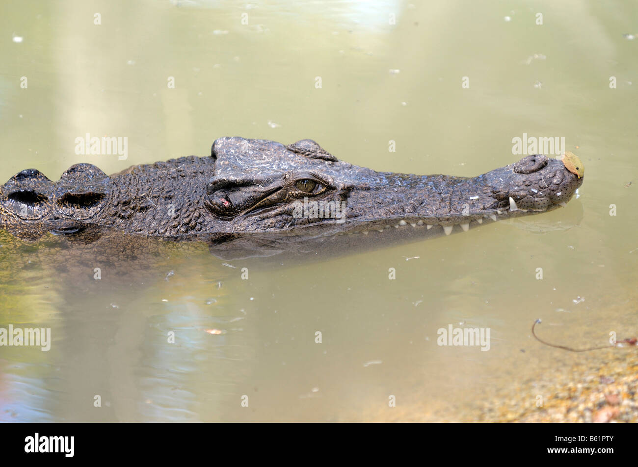El agua salada o Equodouris (Crocodylus porosus), Queensland, Australia Foto de stock