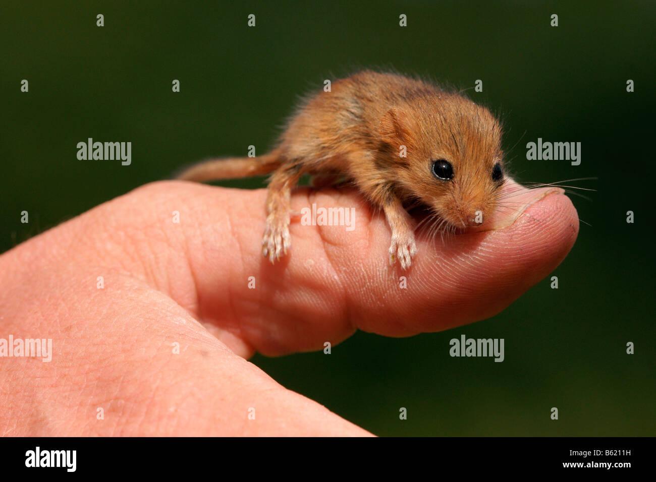 (Muscardinus avellanarius Lirón avellana), PUP, sentado sobre un hombre del dedo pulgar, nurseling Foto de stock