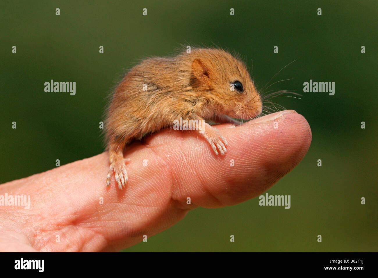 (Muscardinus avellanarius Lirón avellana), PUP, sentado sobre un hombre del dedo pulgar, nursling Foto de stock