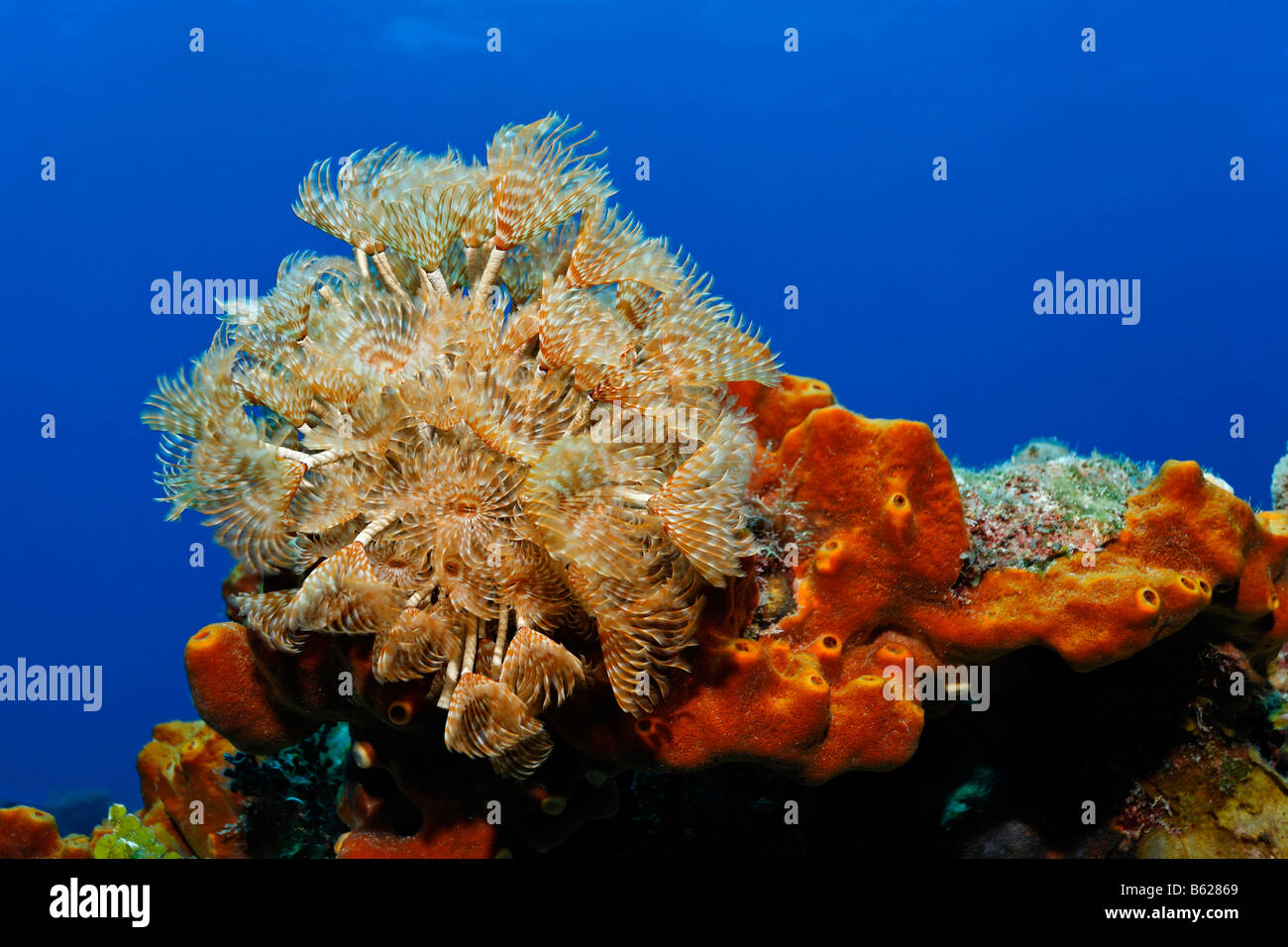 Cluster Duster (Bispira brunnea), tubeworm, sobre una esponja (marrón Ectoplasia ferox) delante de agua azul, Turneffe Atoll, Belice Foto de stock