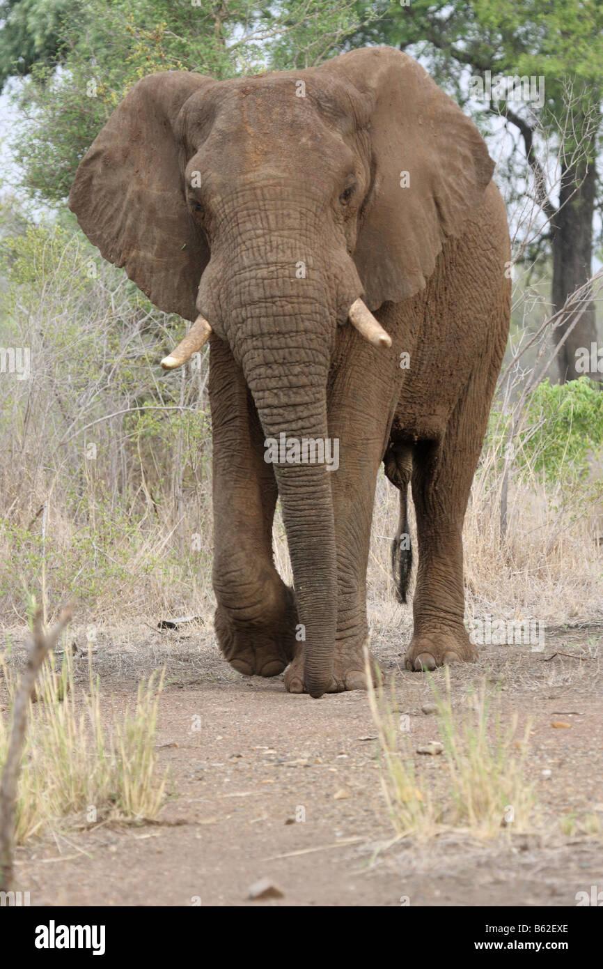 Elefante africano caminando hacia el fotógrafo con orejas flameando en comportamiento comportamiento amenaza Imagen De Stock