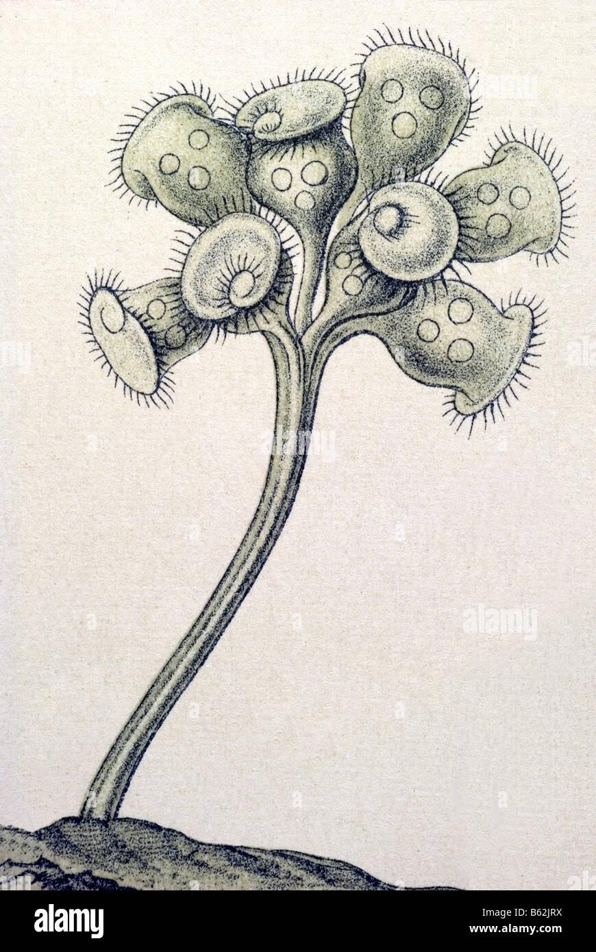 / Wimperlinge ciliata, nombre Stentor, Haeckel, Kunstformen der Natur, art nouveau, del siglo XX, Europa Foto de stock