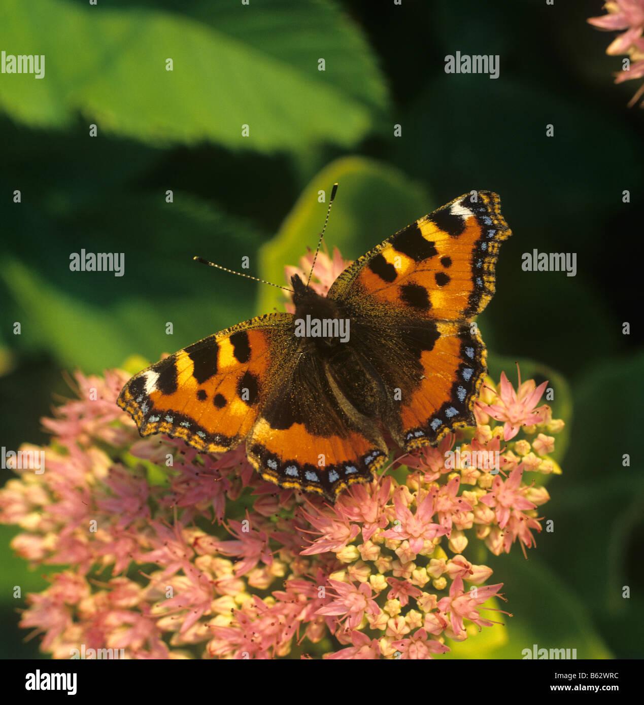Pequeñas mariposas tortoiseshell Sedum spectabile Aglais urticae en flor en la tarde luz Foto de stock