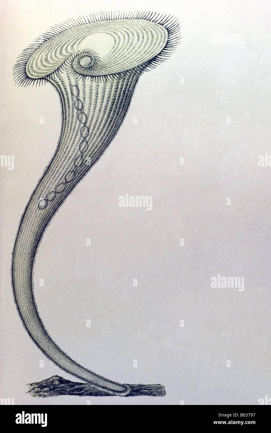 / Wimperlinge ciliata, nombre Stentor, Haeckel, Kunstformen der Natur, art nouveau, del siglo XX, Europa Imagen De Stock