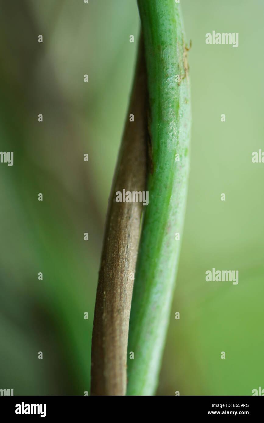 Tallos entrelazados, close-up Imagen De Stock