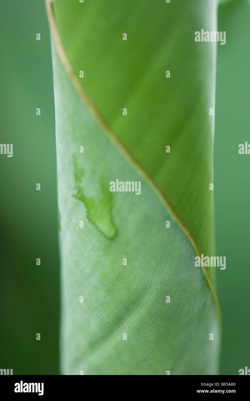 Gota de rocío sobre la hoja rizada, extreme close-up Imagen De Stock