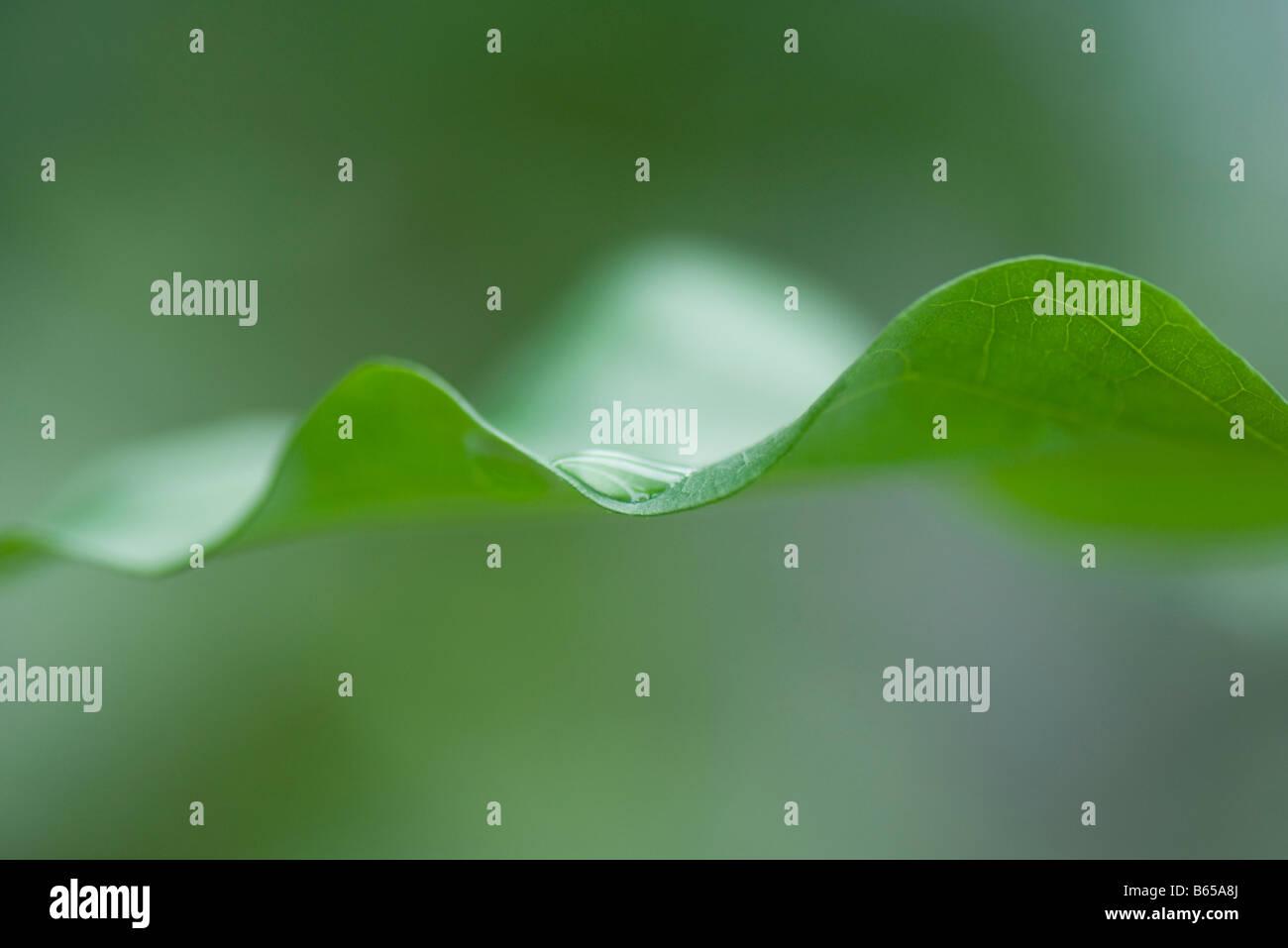 Gota de rocío en el borde de la hoja, extreme close-up Imagen De Stock