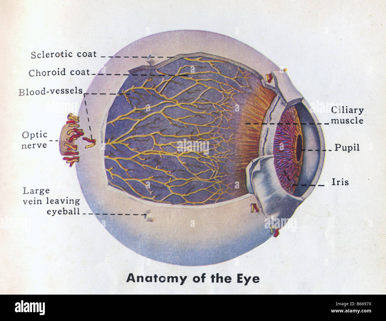 Human Eye Diagram Imágenes De Stock & Human Eye Diagram Fotos De ...