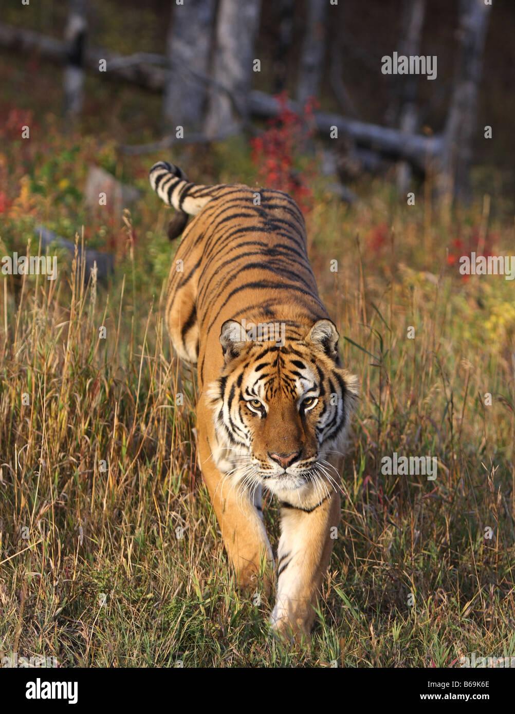 Tigre siberiano Imagen De Stock