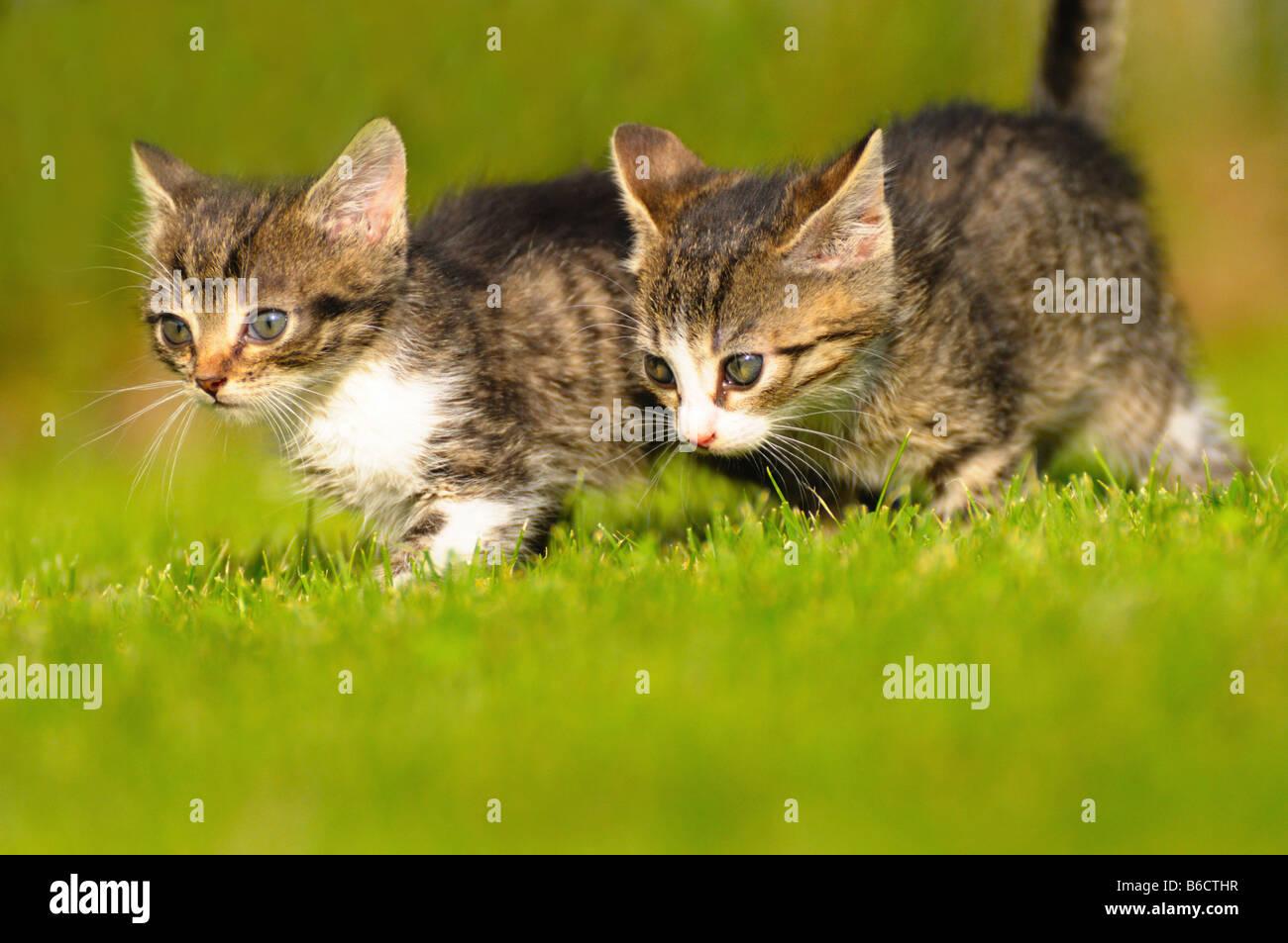 Close-up de dos gatos caminando en césped Imagen De Stock