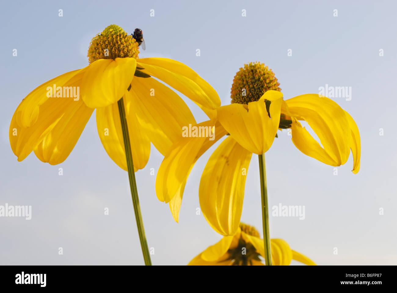 Brillante (Coneflower Rudbeckia nitida), blossom Foto de stock