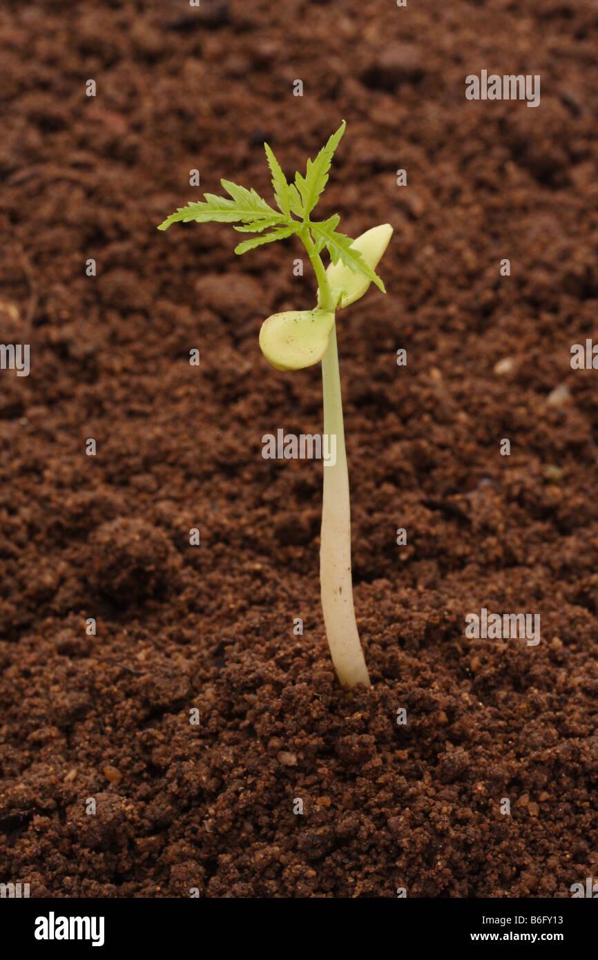 Retoño creciente del suelo Foto de stock
