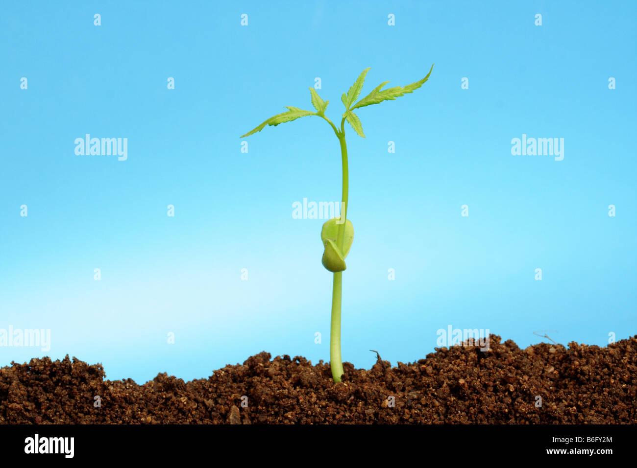 Plántulas creciendo desde el suelo Foto de stock