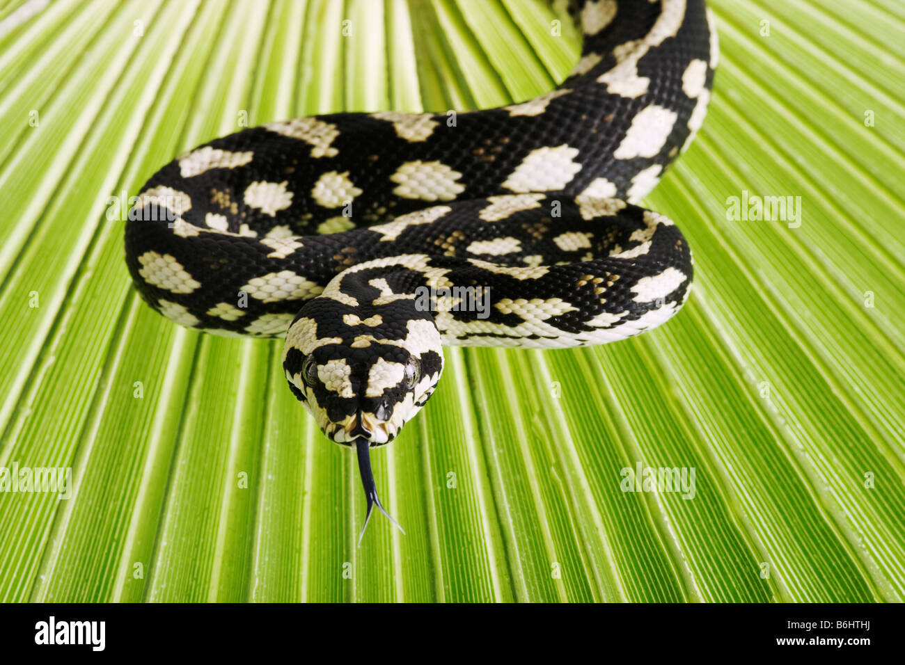 Jungle Carpet pitones Morelia spilota cheynei no python venenosas especies encontradas en las zonas tropicales de Imagen De Stock