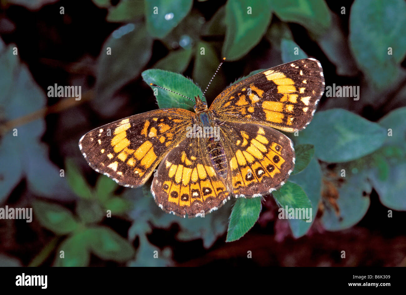 Plateado Chlosyne nycteis Checkerspot Revista Monte el Parque Estatal de Arkansas Estados Unidos el 30 de junio Foto de stock