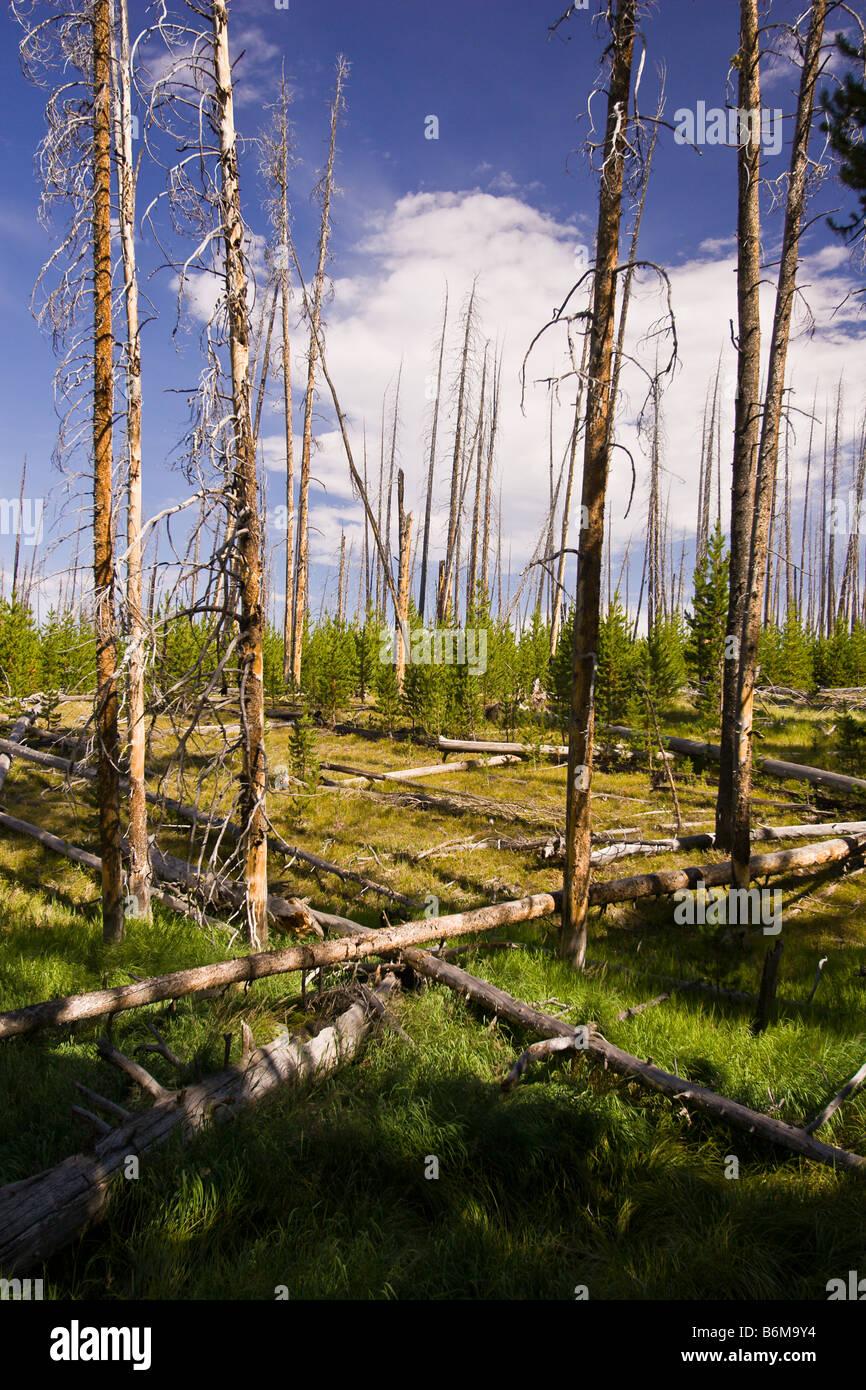 El Parque Nacional Yellowstone, Wyoming USA - Árboles muertos en la zona del lago Riddle Foto de stock