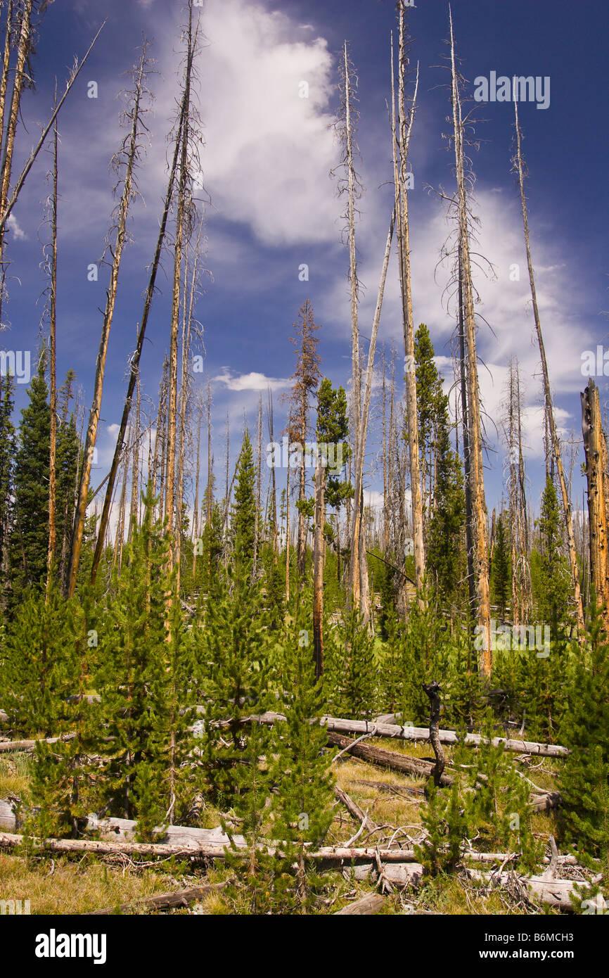 El Parque Nacional Yellowstone, Wyoming USA - bosque en el área del lago Riddle Foto de stock
