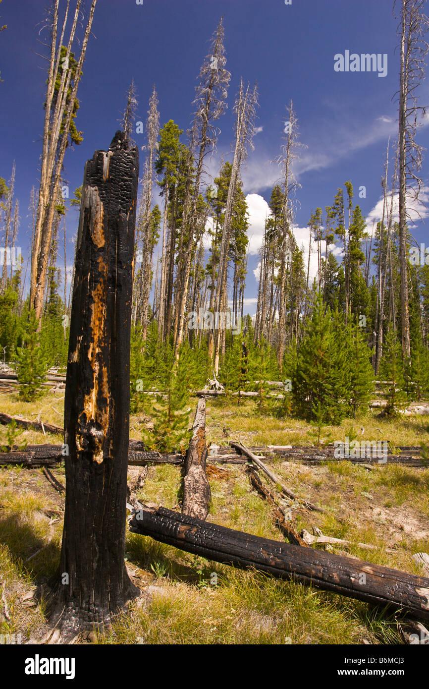 El Parque Nacional Yellowstone, Wyoming USA - carbonizado tocón de árbol en el bosque en el área del lago Riddle Foto de stock