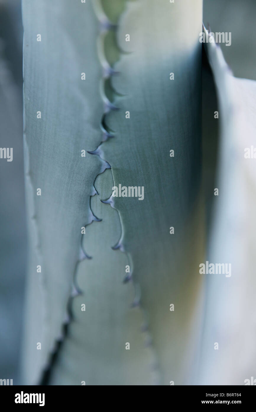 Yuca planta patrón cremallera cactus Imagen De Stock