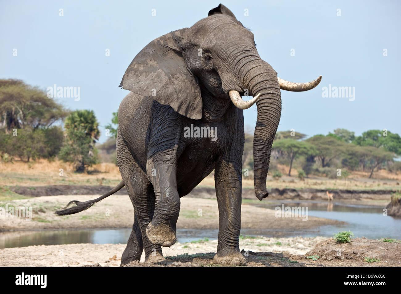 Tanzania, el Parque Nacional de Katavi. Un elefante muestra la agresión. Imagen De Stock