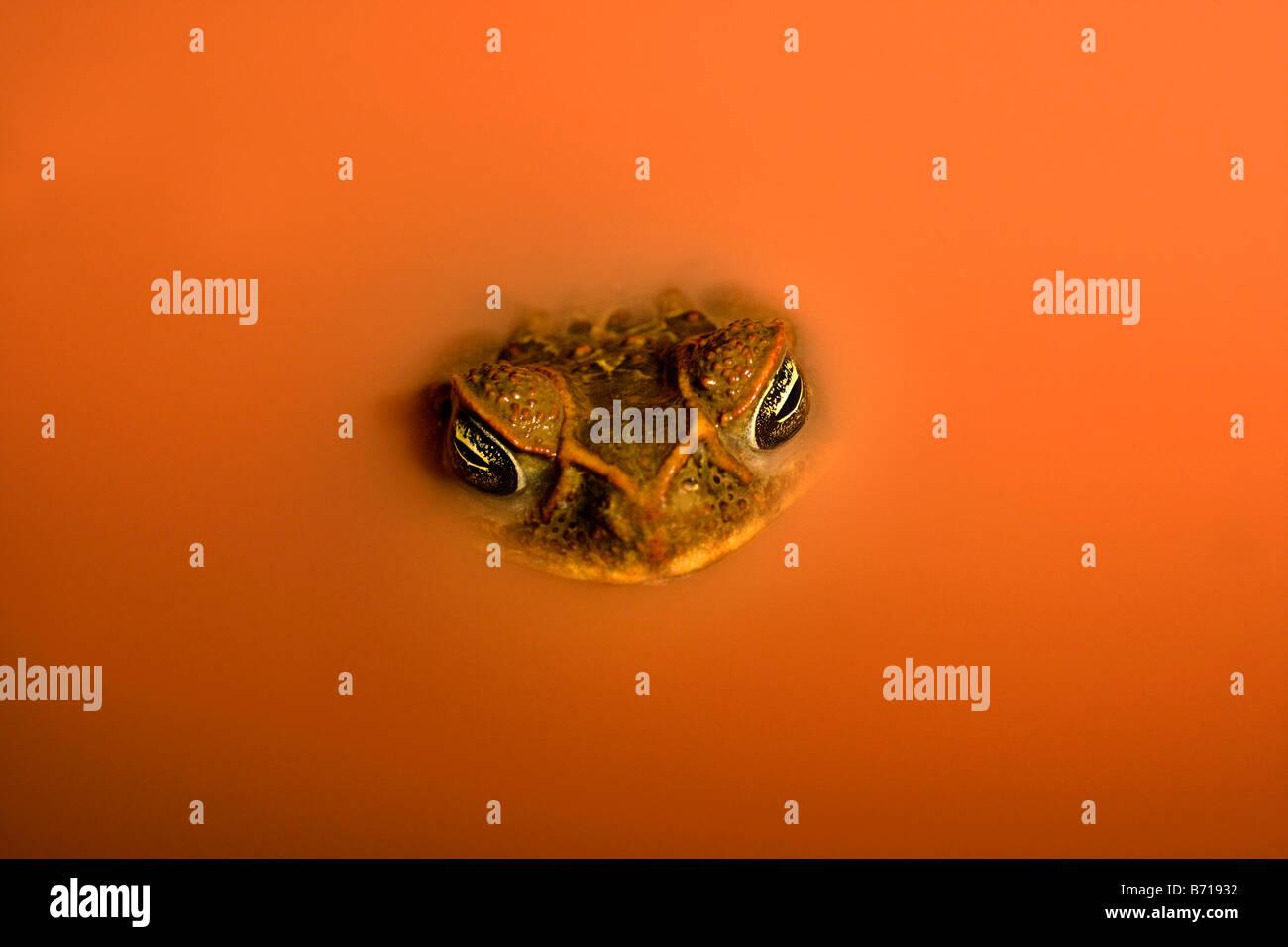 Suriname, Brownsweg, Brownsberg Parque Nacional. El Sapo de caña (Bufo marinus). En la piscina de laterita. Imagen De Stock