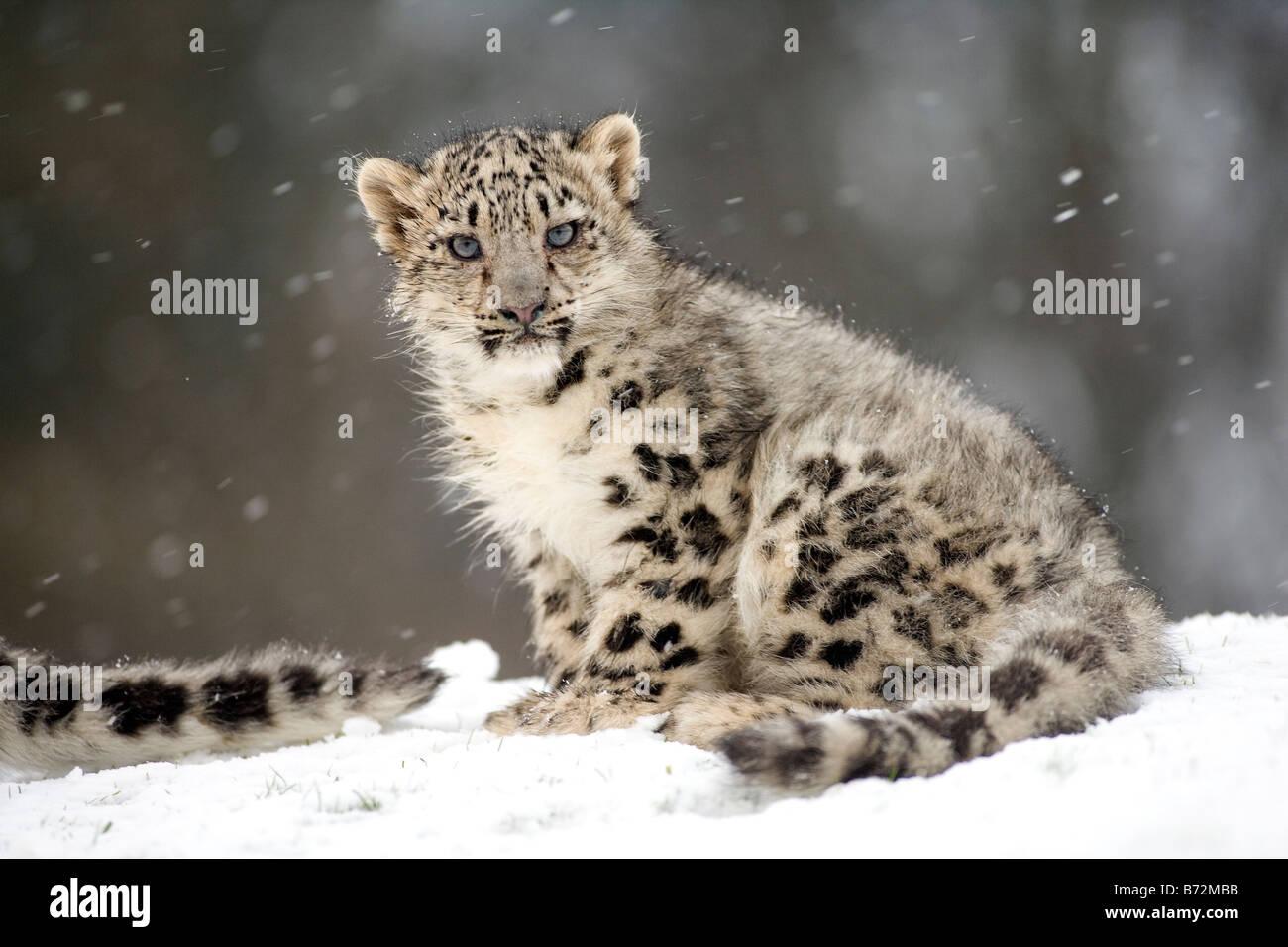 Snow Leopard Cub en la nieve. Imagen De Stock