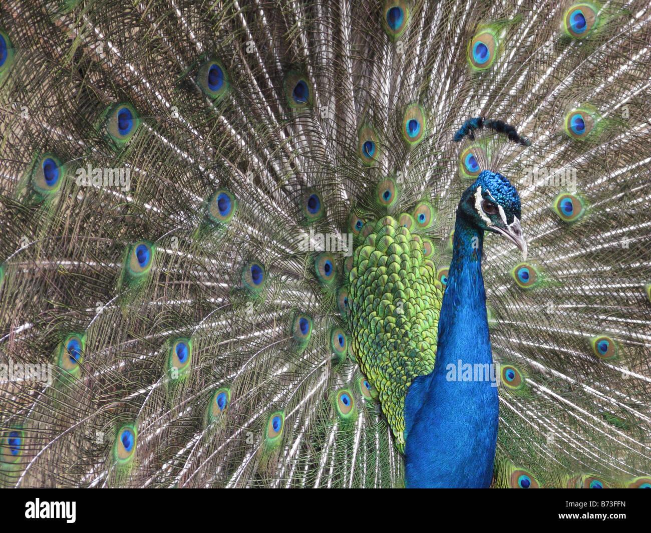 Macho azul indio peacock retrato Imagen De Stock