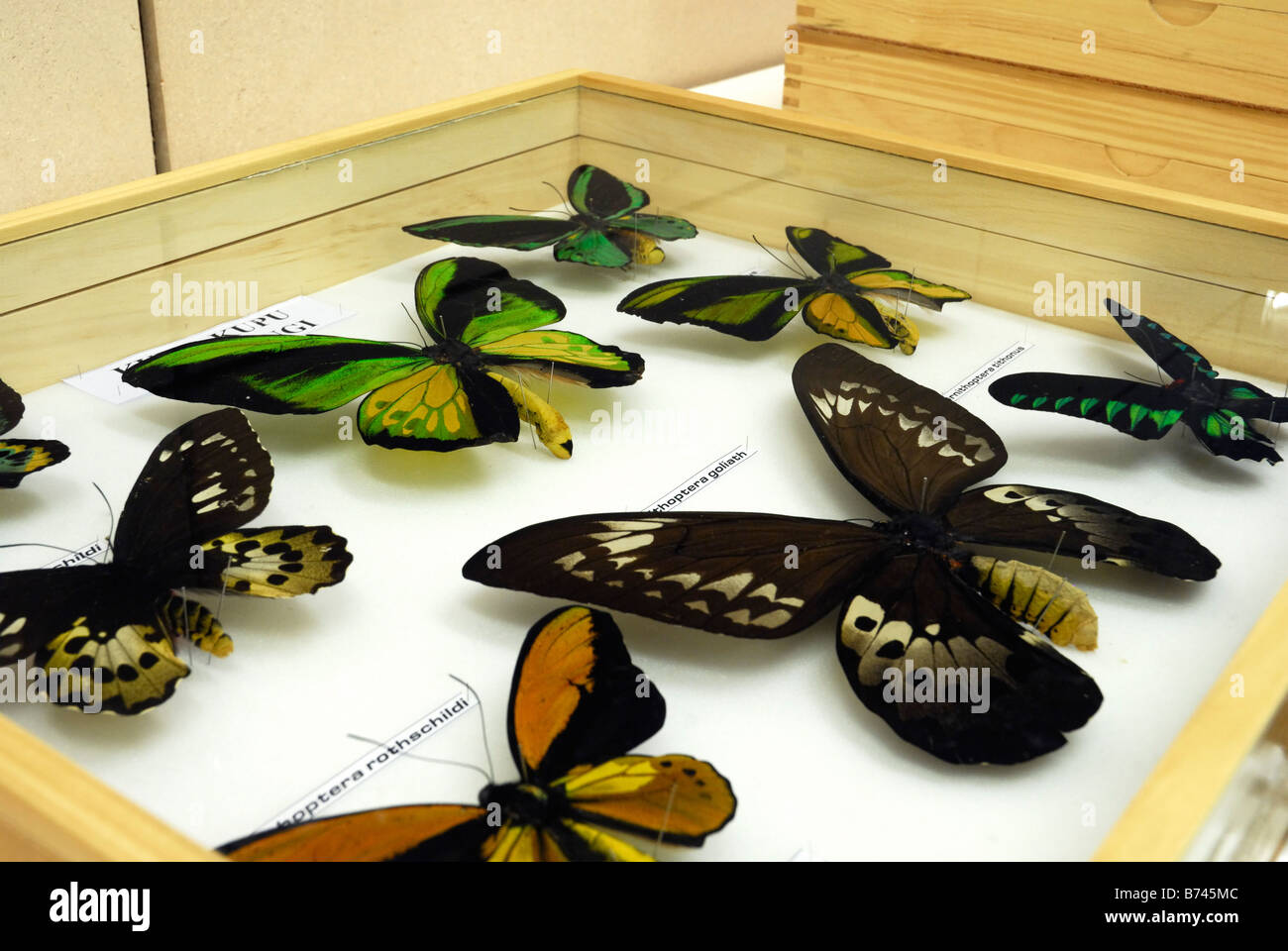 Colección de Lepidoptera en el laboratorio del Centro de Ciencias de Cibinong, Indonesia Imagen De Stock