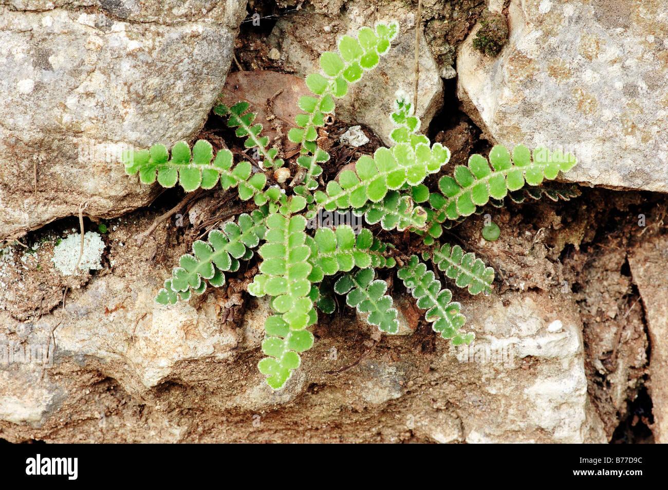 Helecho Rustyback o escamoso Maidenhair (Asplenium ceterach, Ceterach officinarum, Asplenium officinarum), Provenza, Imagen De Stock
