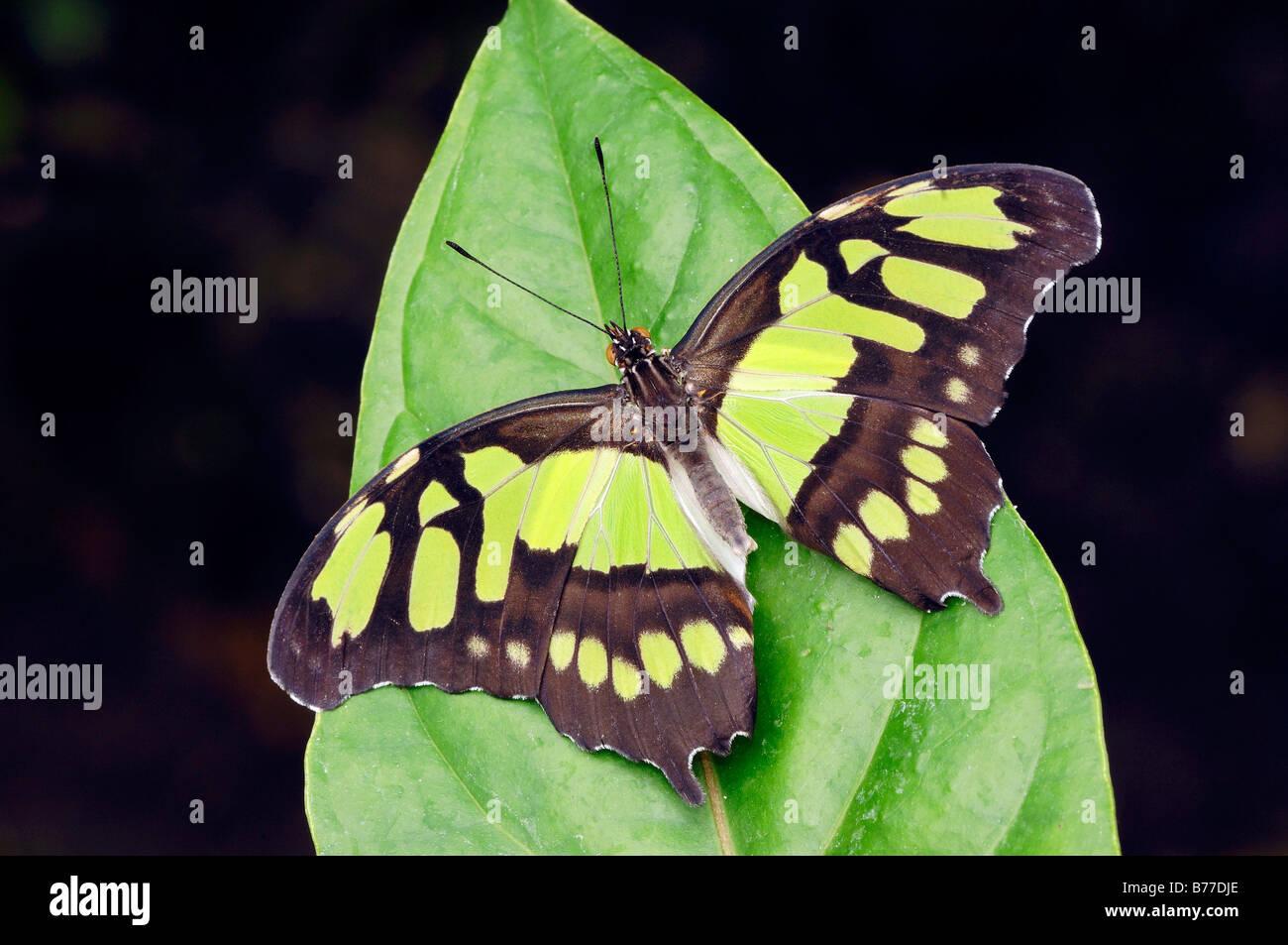 Malaquita (Siproeta stelenes) Foto de stock