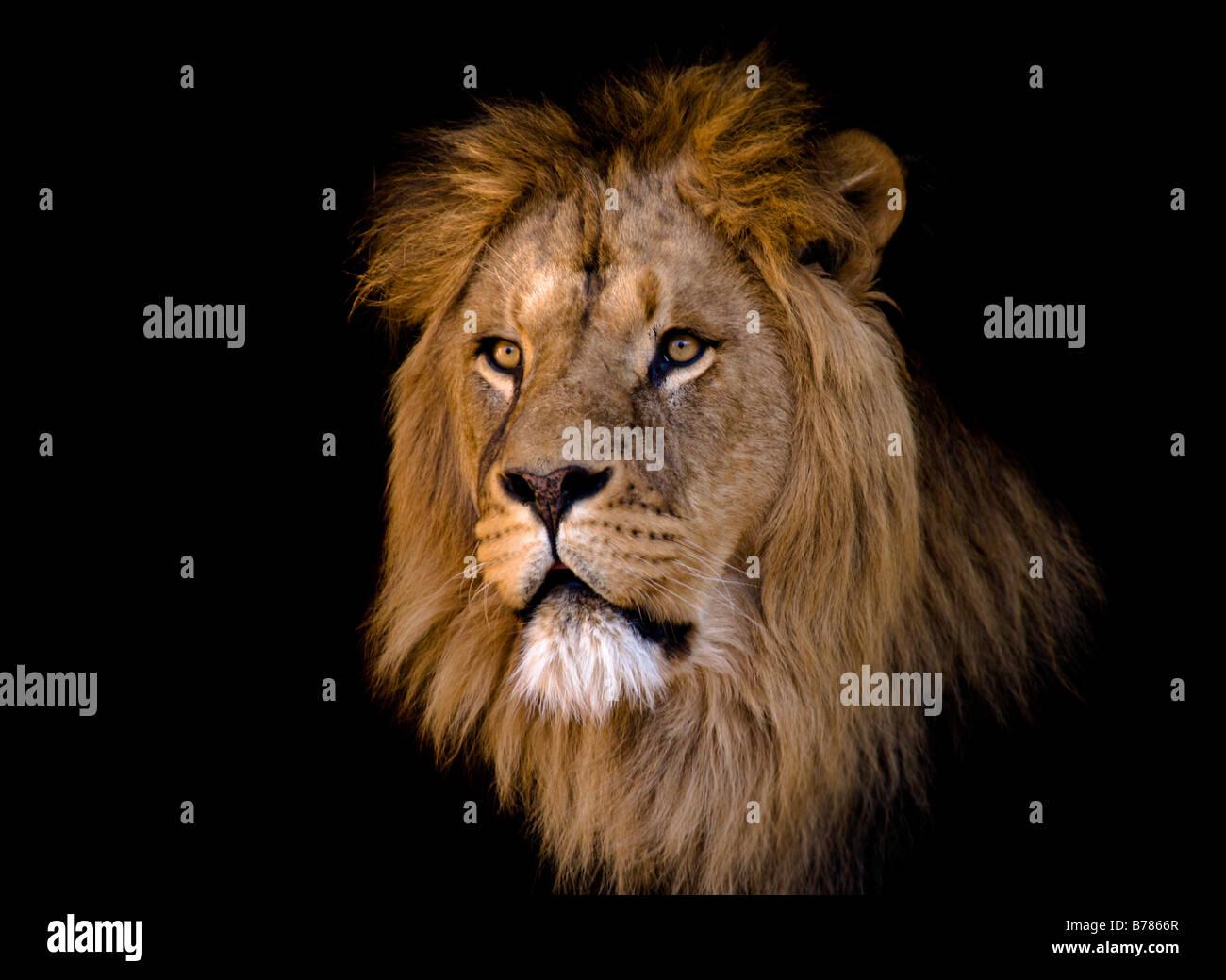 Retrato de un gran varón africano león Imagen De Stock