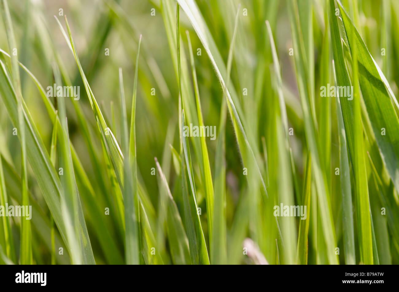 Captura abstracta de la primavera hierba - cerca - Antecedentes Imagen De Stock