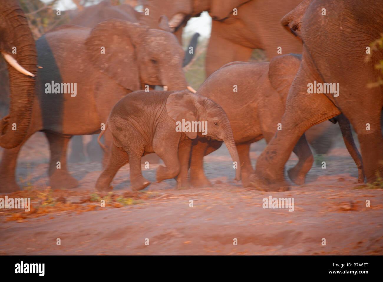 La cría de elefante caminar off con el rebaño en luz cálida Foto de stock