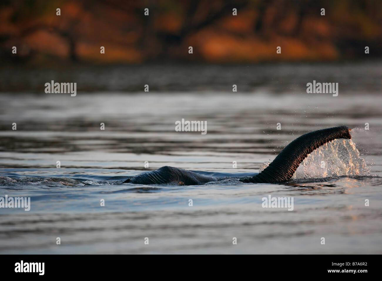 Close-up de una trompa de elefante hasta llegar a respirar como el elefante sumergido totalmente chapuzones en el Imagen De Stock