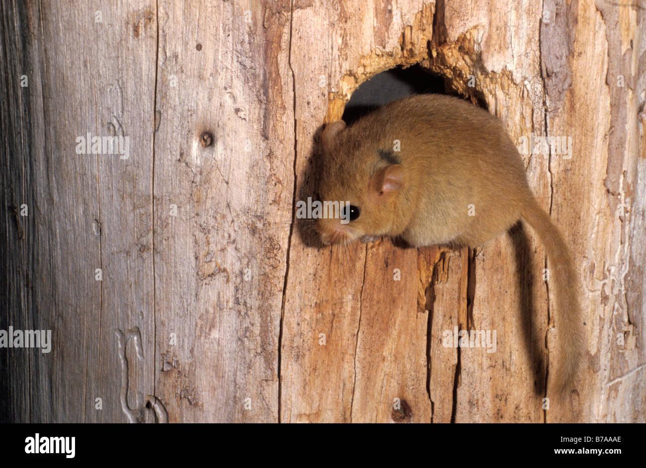 (Muscardinus avellanarius Hazel Lirón) en un agujero en un árbol Foto de stock