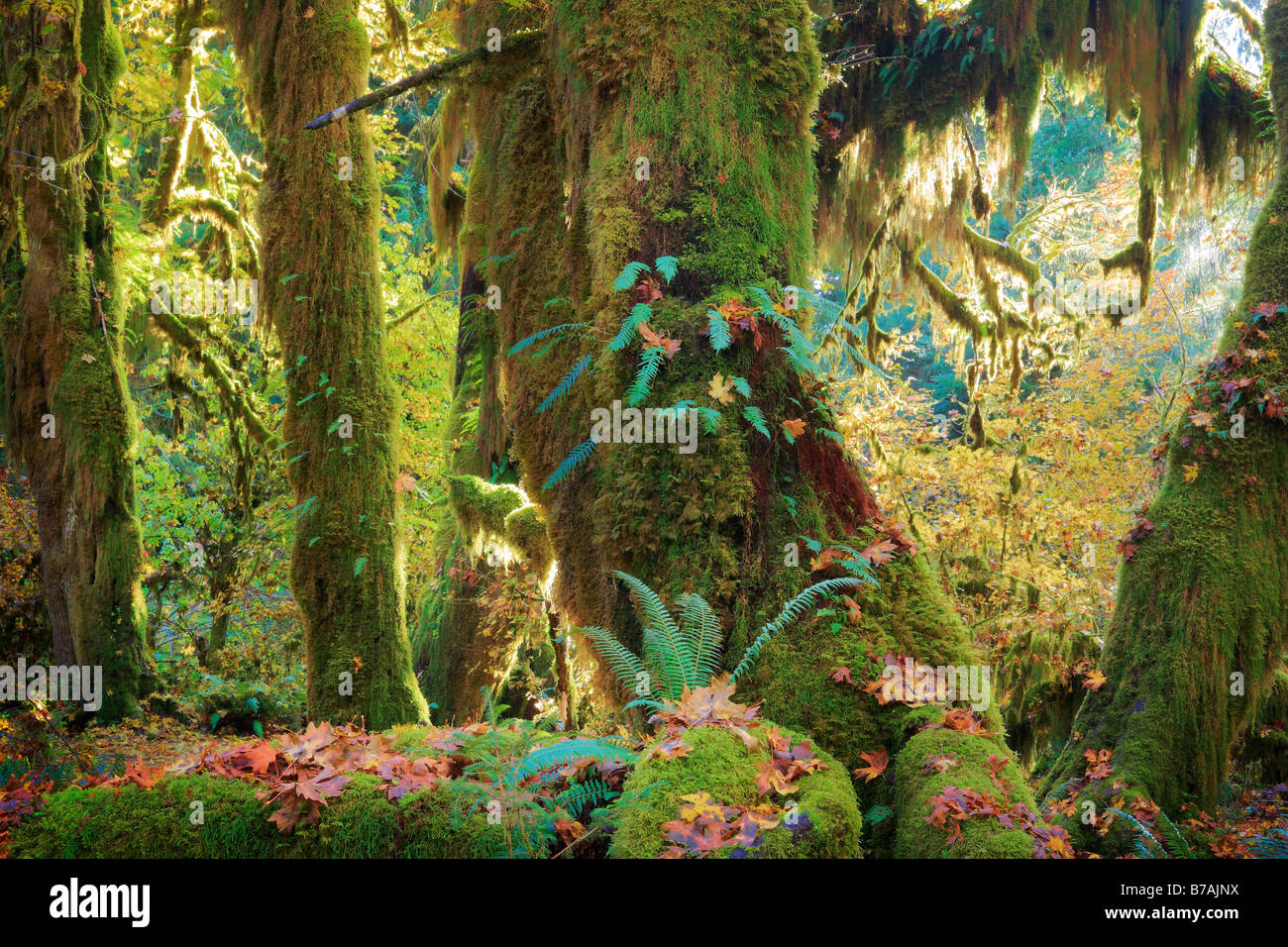 Hoh Rain Forest en el Parque Nacional Olímpico en otoño Foto de stock