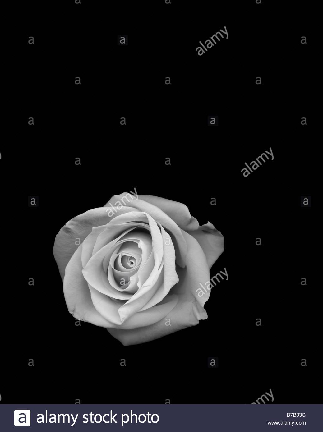 Foto de estudio de rosa Imagen De Stock