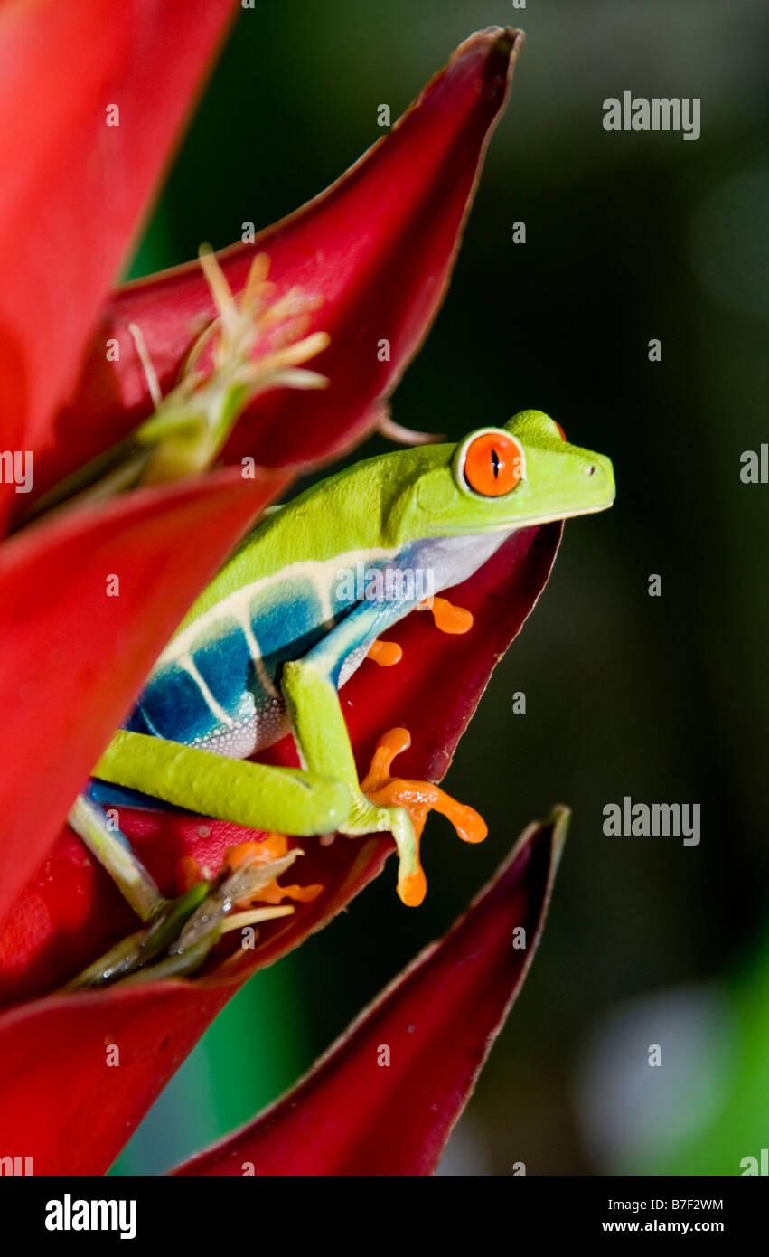 La rana arborícola de ojos rojos (Agalychnis callidryas) en Costa Rica. Foto de stock