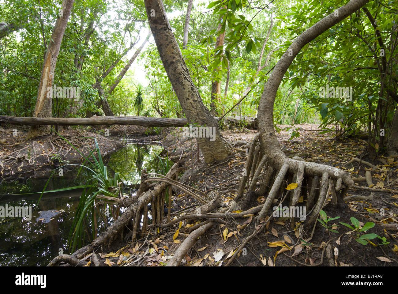 Raíces expuestas al comienzo de la estación seca en los bosques cerca de monzón en el Parque Nacional Kakadu Gunlom Foto de stock