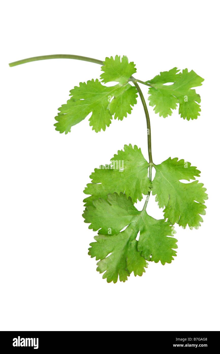 El cilantro cortado sobre fondo blanco. Imagen De Stock