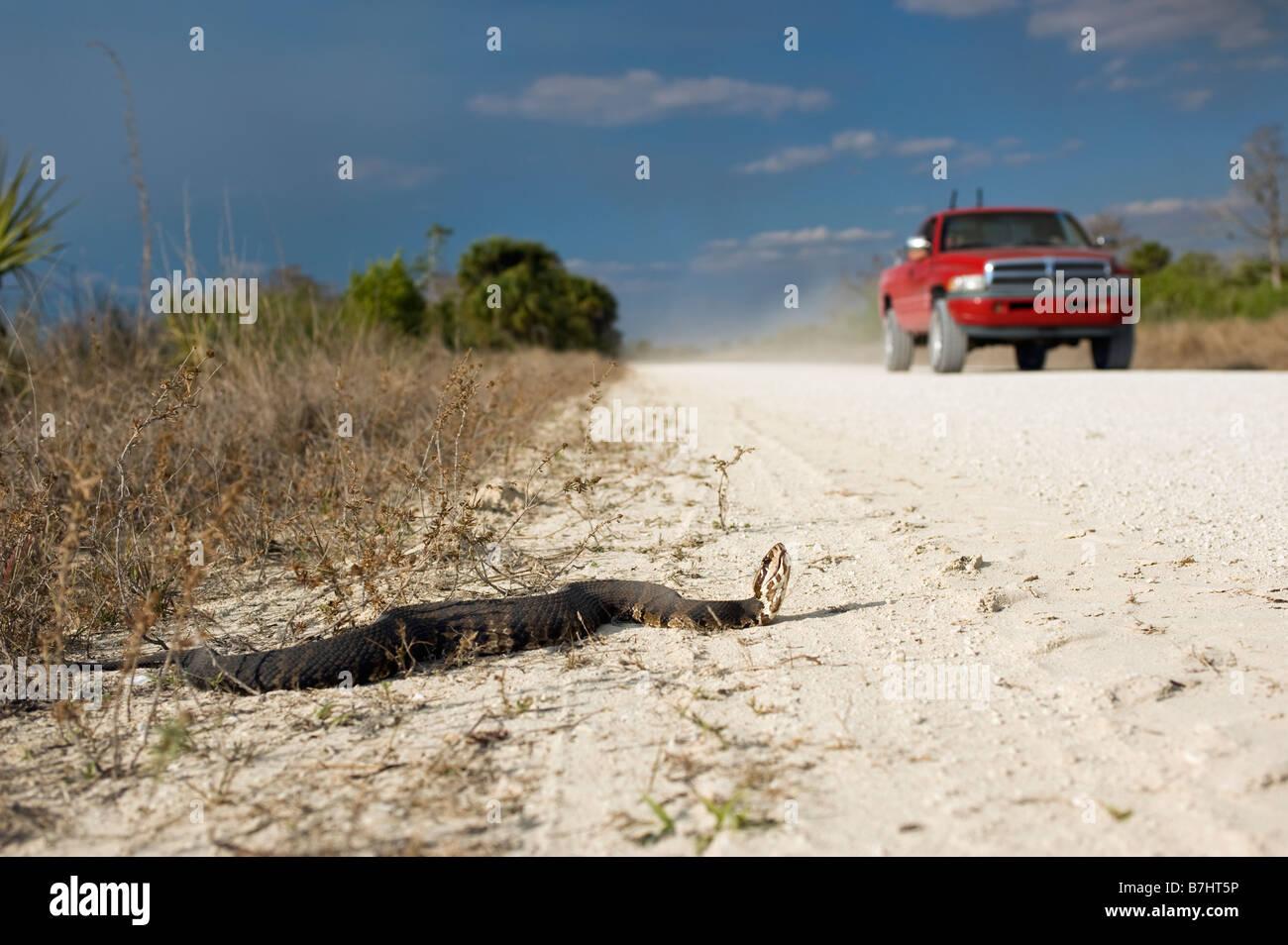 Agua o cottonmouth Moccasin Agkistrodon especies piscívoras conanti en el Big Cypress National Preserve en los Everglades Foto de stock