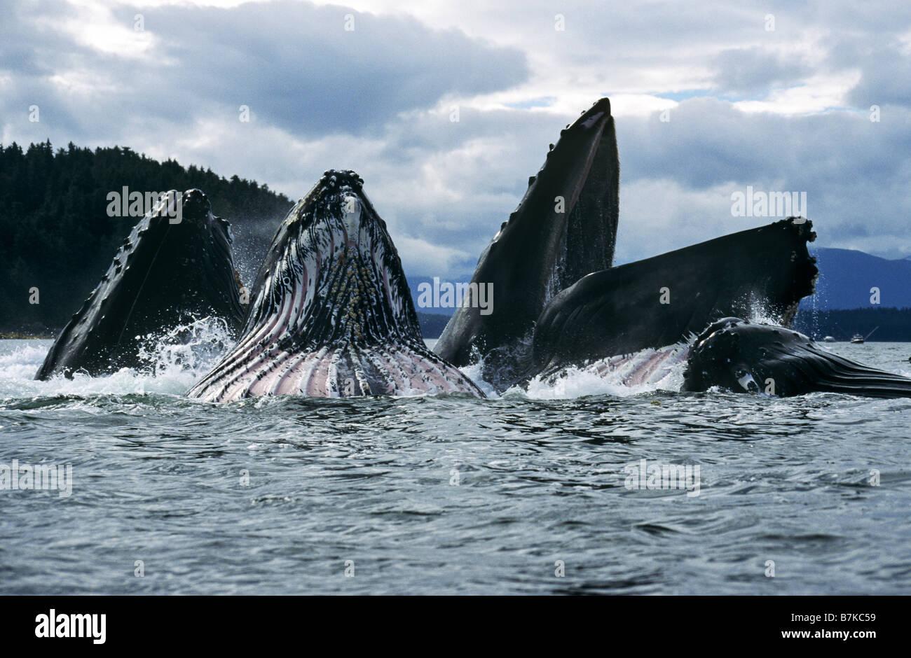 Las ballenas jorobadas alimentando, Estrecho de Chatham, al sureste. Alaska Foto de stock