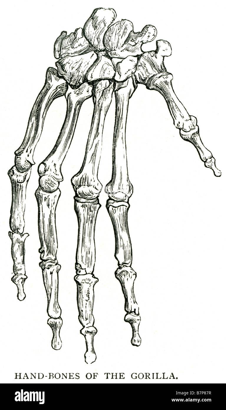Huesos de la mano de gorila anatomía esqueleto dedo pulgar knuckle ...