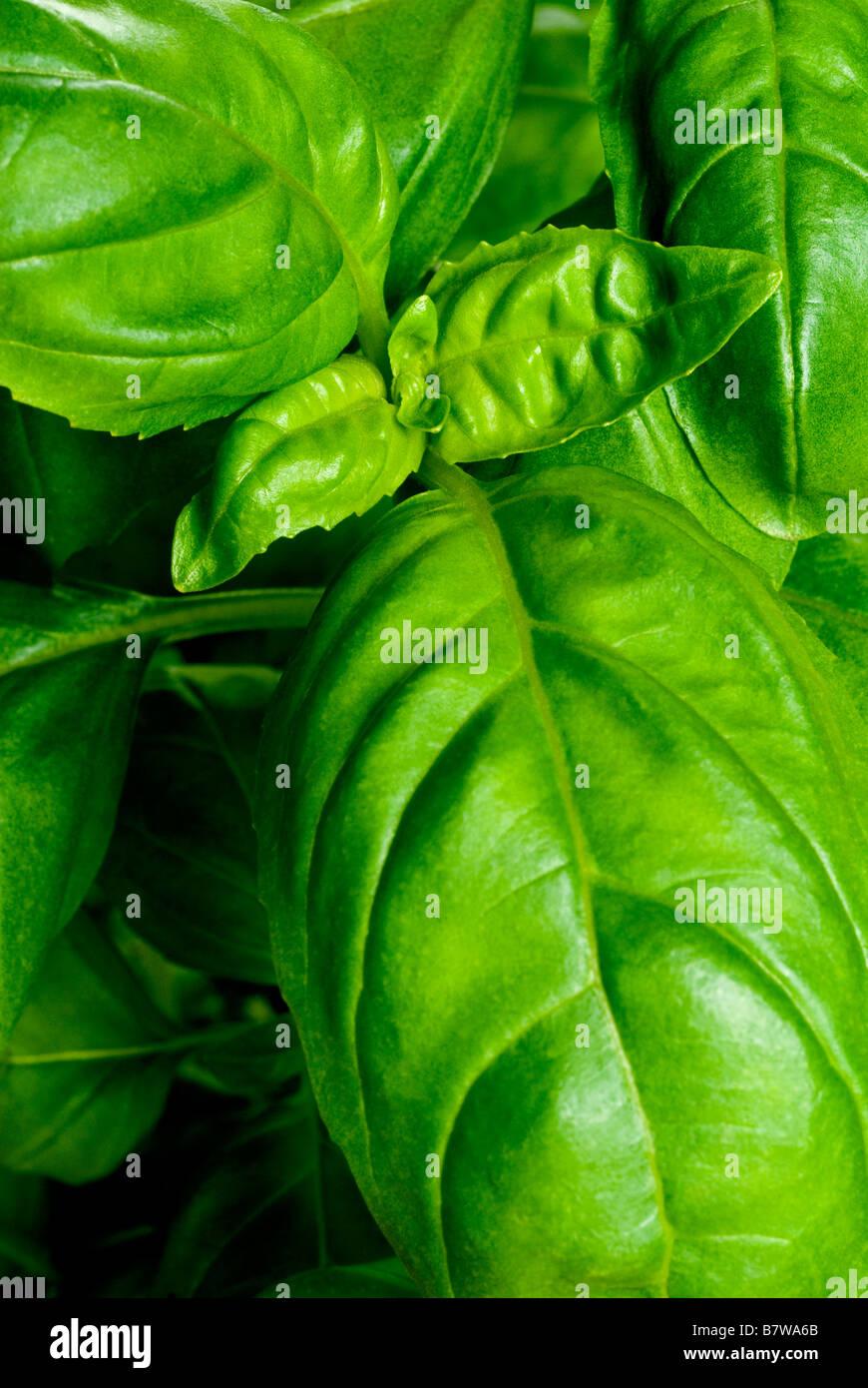 Hojas de albahaca fresca en el crecimiento de una planta en maceta real Foto de stock