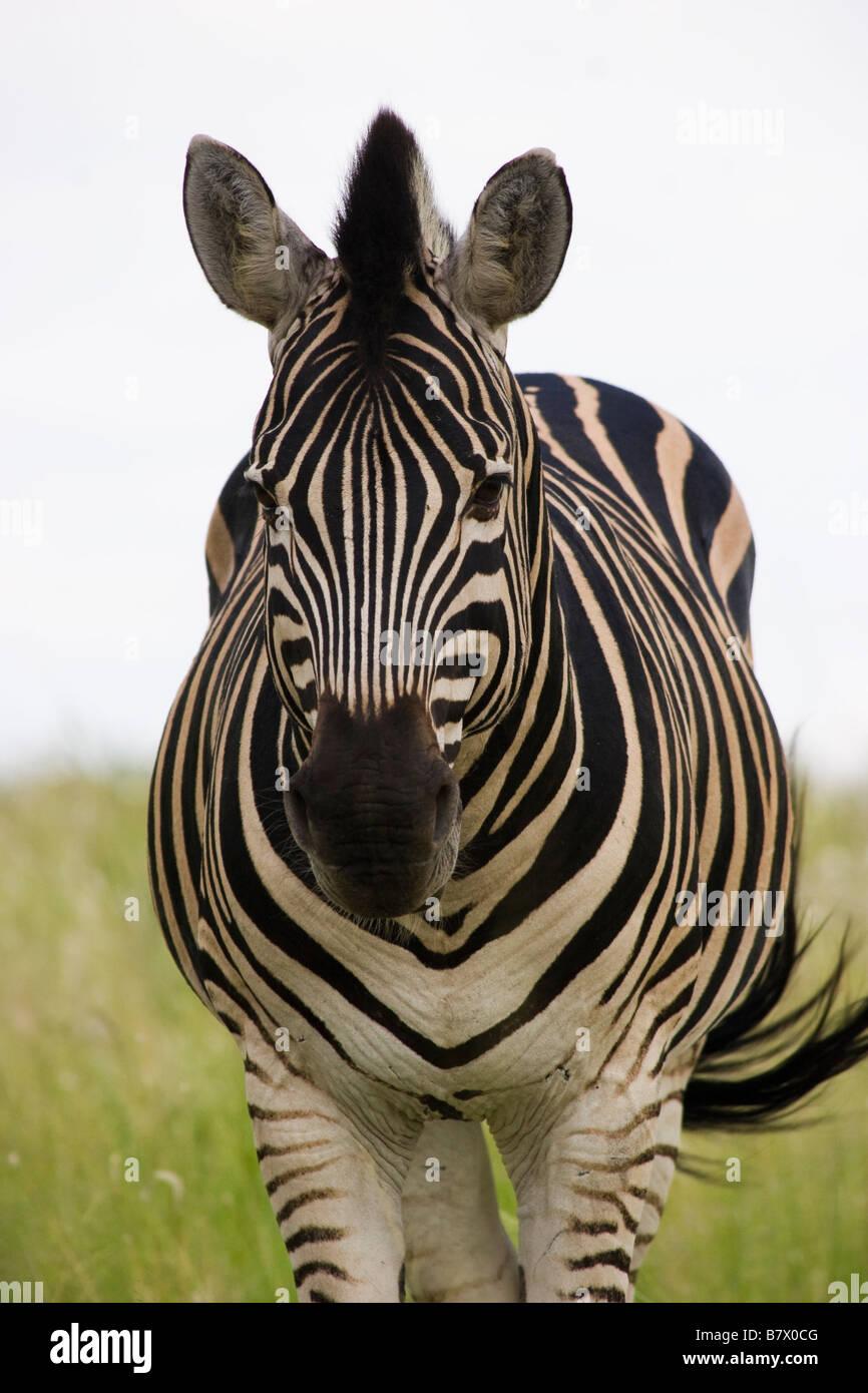 Juego Zebra Park South Africa Imagen De Stock