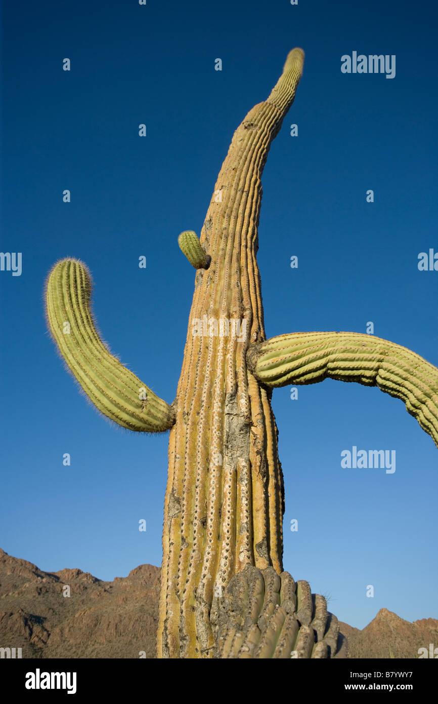 Un cacto saguaro altas con brazos curvos parece s running Imagen De Stock