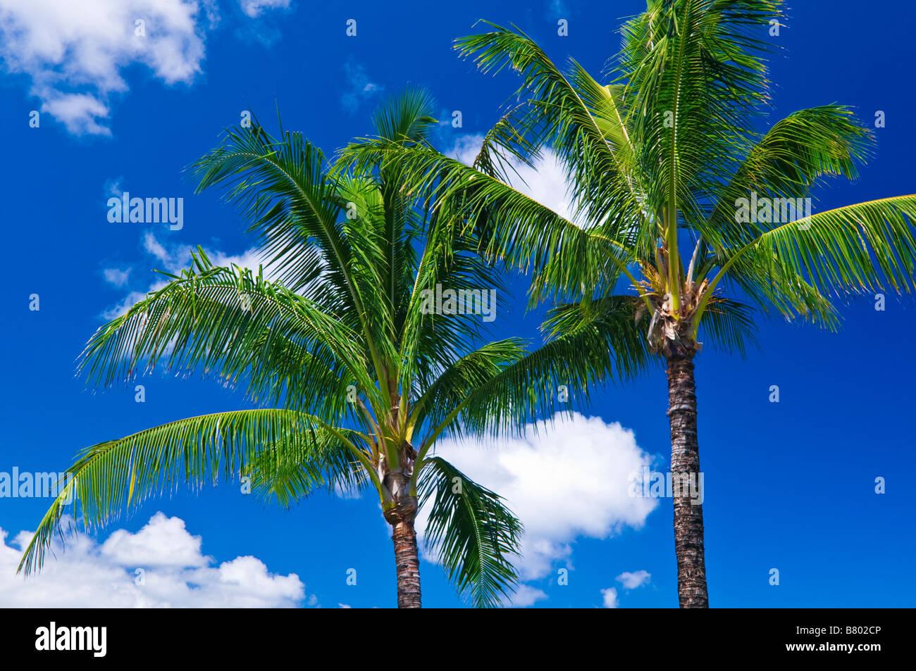 Las palmas de coco y cielo azul isla de Kauai Hawaii Foto de stock